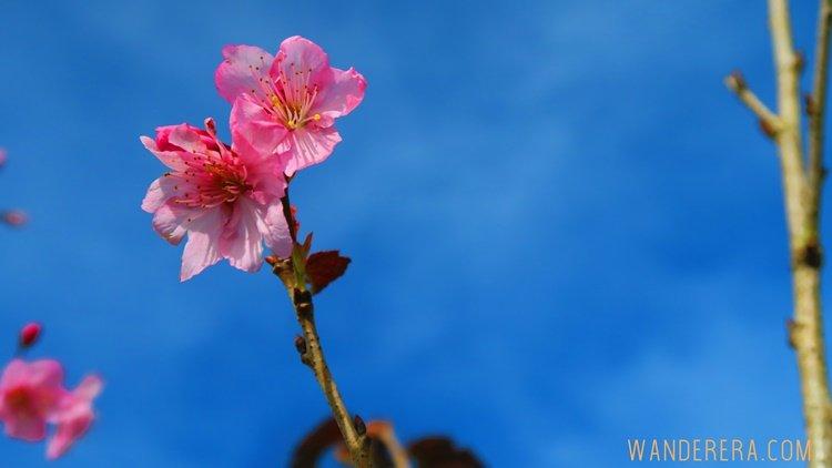 Sakura Flowers in Atok