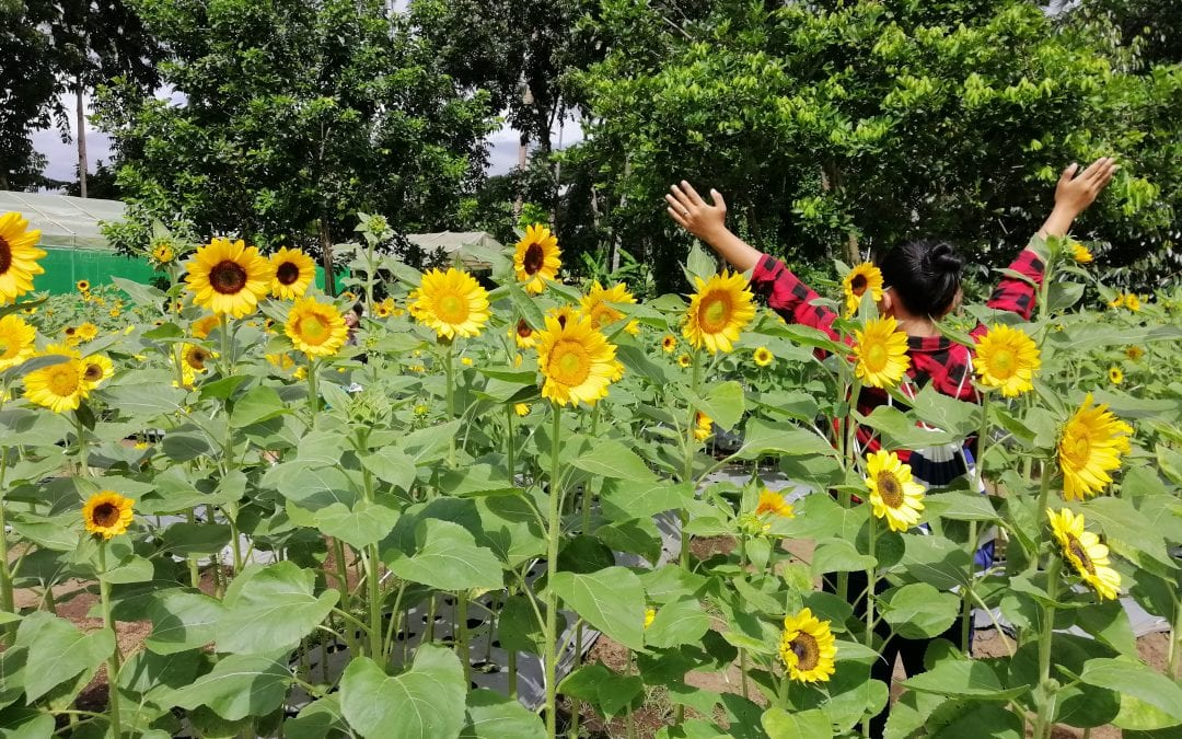 Sunshine Farm 2021 Travel Guide (A Sunflower Farm In Tiaong, Quezon)