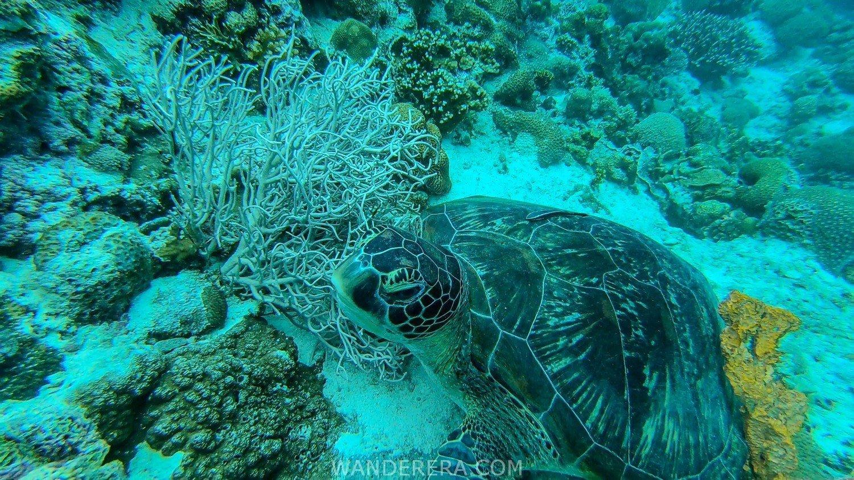 moalboal turtles